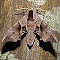 Smerinthus ocellata (Sphingidae) (Eyed Hawk Moth) - (imago), Gent, Belgium - 3.jpg