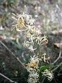 Smilax aspera inflorescence RHu.JPG