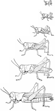 Six stages of development, from newly-hatched nymph to fully-winged adult. (Melanoplus sanguinipes)