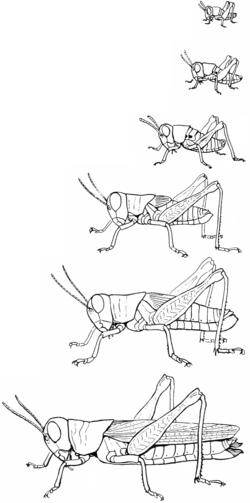 Metamorfosi negli ortotteri