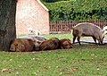 Snoozing Pigs by the Roadside at Bramshaw - geograph.org.uk - 654210.jpg