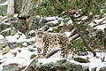 Snow Leopard Standing Under a Tree (24038914130).jpg
