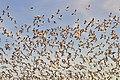 Snow geese - Fir Island - 11.jpg