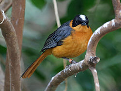 Snowy-crowned Robin-chat SMTC.jpg