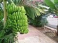 Sogar klasse Bananen gibt es in dieser öffentlichen Straße - Calle Acevino - auf dem Gehweg - und keine fehlte - panoramio.jpg
