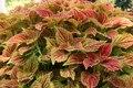 Solenostemon scutellarioides IMG 7805.tif