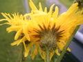 Sonchus arvensis flowerhead2.jpg