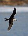 Sooty Tern (Onychoprion fuscatus) (37699320692).jpg