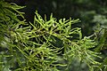 Sophora microphylla in Eastwoodhill Arboretum (9).jpg