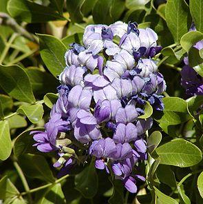 Calia secundiflora, Blütenstand