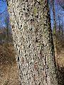 Sorbus torminalis sl2.jpg