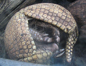South American armadillo - desc-curled up - from-DC1.jpg