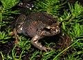Southern Smooth Froglet (Geocrinia laevis) (8743396751).jpg