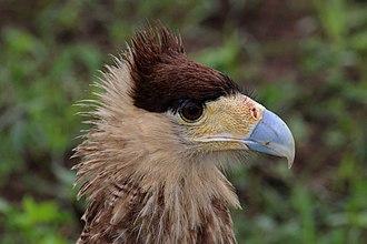 Southern crested caracara - Image: Southern crested caracara (Caracara plancus) head young bird
