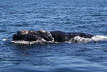 Photo of whale at surface