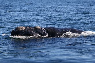 Right whale - Southern right whale in the breeding grounds at Peninsula Valdés in Patagonia