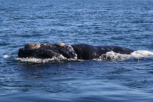 Southern right whale6