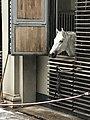 Spanish Riding School stalllion 44.jpg