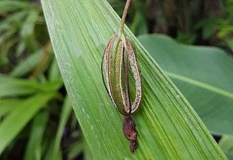Spathoglottis plicata - Image: Spathoglottis plicata (Philippine ground orchid) capsule dehisced