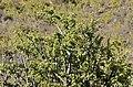 Spekboom (Portulacaria afra) (31834146953).jpg
