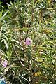 Sphaeralcea angustifolia 04.jpg