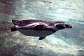 Spheniscus humboldti -swimming-6.jpg