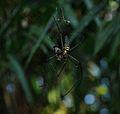 Spider - Bako National Park - Sarawak - Borneo - Malaysia - panoramio.jpg