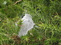 Spiders nest in gorse bush TaraHill CoWexford Ireland Aug 2011.JPG