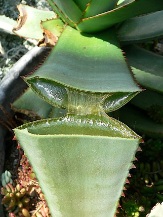 Succulent plant - Succulent plants store water in their fleshy stems, or leaves, such as this Aloe