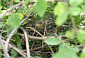 Spotted Dove (Streptopelia chinensis) nest W IMG 0519.jpg