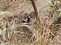 Spotted Forktail (Enicurus maculatus) (32735875488).jpg