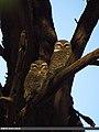 Spotted Owlet (Athene brama) (15868292156).jpg