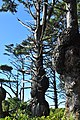 Spruce Burl trail, Kalaloch Beach, Washington 01.jpg