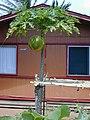 Starr-010404-0609-Carica papaya-large fruit-Lahaina-Maui (23903973324).jpg