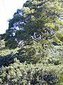 Starr-020226-0030-Buddleja davidii-in koa-Kokee-Kauai (23920095133).jpg