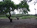 Starr-040123-0029-Schinus terebinthifolius-trimmed up-Kanaha Beach-Maui (24579513432).jpg