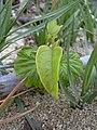 Starr-040323-0115-Cordia subcordata-seedling-Kanaha Beach-Maui (24582028742).jpg