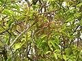 Starr-060429-8020-Charpentiera obovata-panicles-Auwahi-Maui (24744582012).jpg