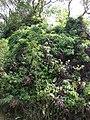 Starr-070321-6106-Clidemia hirta-habit-Hana Hwy-Maui (24859500356).jpg