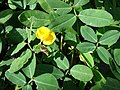 Starr-080103-1333-Arachis pintoi-flowering habit-Lowes Garden Center Kahului-Maui (24899550785).jpg