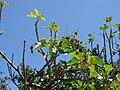 Starr-090610-0559-Jatropha curcas-leaves and flowers-Haiku-Maui (24333312534).jpg