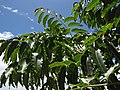 Starr-090806-3945-Azadirachta indica-leaves-UH CTAHR Maui Community College Kahului-Maui (24878320971).jpg
