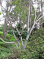 Starr-110307-2127-Ficus elastica-trunk and habit-Kula Botanical Garden-Maui (24450790103).jpg
