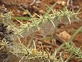 Starr-111003-0382-Ulex europaeus-needles with Tetranychus lintearrus gorse biocontrol mite webbing-Piiholo-Maui (24822384160).jpg