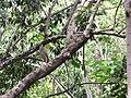 Starr-120229-2873-Syzygium cumini-with aukuu heron-Waikapu Valley-Maui (24840544270).jpg