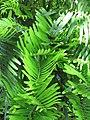 Starr-120522-6208-Zamia integrifolia-leaves-Iao Tropical Gardens of Maui-Maui (24775628099).jpg