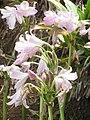 Starr-130809-2969-Amaryllis belladonna-flowering bulb-Kula-Maui (24892199699).jpg