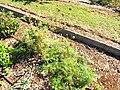Starr-131216-2779-Daucus carota subsp sativus-seeding habit in vegetable garden-Hawea Pl Olinda-Maui (25202202366).jpg