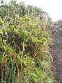 Starr-140915-4914-Holcus lanatus-seedheads with raindrops-Halemauu Trail HNP-Maui (24878476489).jpg