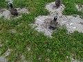 Starr-150327-0497-Lepidium virginicum-habit and Laysan Albatrosses-Near Bart Hill Sand Island-Midway Atoll (25268281135).jpg